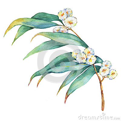 Free A Branch Of Eucalyptus Melliodora Flowers, Plant Also Known As Yellow Box Gum. Stock Image - 95045131