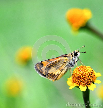 Free A Brown Skippers Butterfly On Yellow Flower Royalty Free Stock Photography - 134248307