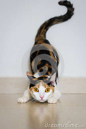 Free A Cat Ready To Attack Stock Image - 91003701