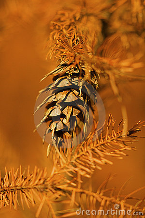Free A Closeup Of An Orange And Brown Pinetree In Autum Royalty Free Stock Photos - 10081768