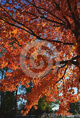 Free A Colorful Autumn Tree Branches With Bright Orange Leafes Stock Photos - 102837183