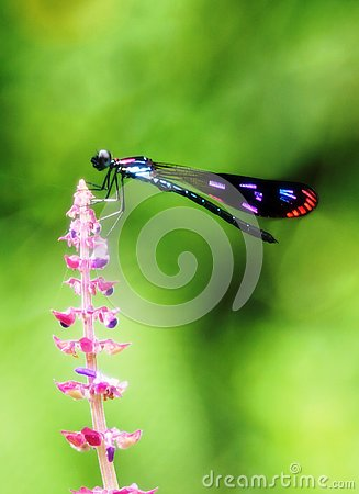Free A Colorful Damselfly On Pinkish Flower Stock Photo - 133637760