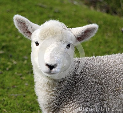 Free A Cute Baby Lamb On The Farm Royalty Free Stock Photos - 54783398