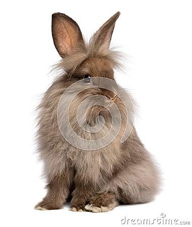 Free A Cute Sitting Chocolate Lionhead Bunny Rabbit Stock Photos - 29123493