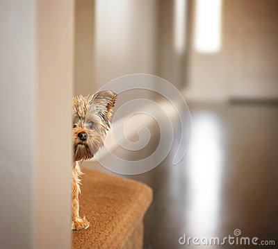 Free A Cute Yorkshire Terrier Peeking From Around A Wall Royalty Free Stock Image - 53035026