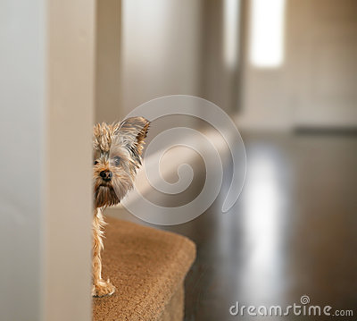 Free A Cute Yorkshire Terrier Peeking From Around A Wall Toned With A Stock Photos - 53035023