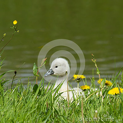 Free A Cygnet Is Standing Royalty Free Stock Photography - 25094197