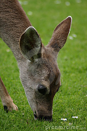 Free A Doe Nibbles The Flowers Stock Photography - 2211542