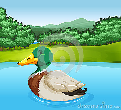Free A Duck Stock Photography - 53930972