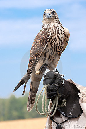 Free A Falcon On Handlers Hand Royalty Free Stock Photography - 20751947
