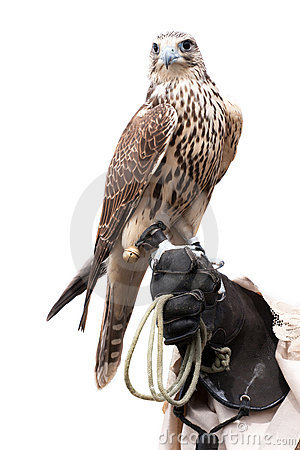 Free A Falcon On Handlers Hand Stock Photos - 21331973