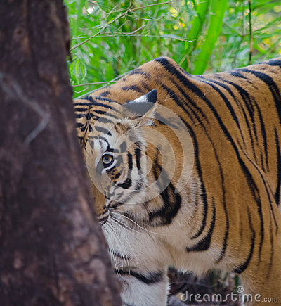 Free A Female Bengal Tiger Looks At The Camera From Behind A Tree Royalty Free Stock Photo - 83436415