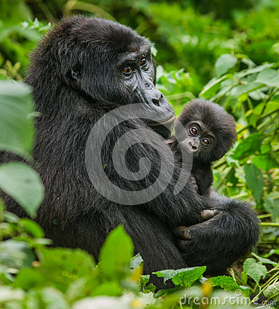 Free A Female Mountain Gorilla With A Baby. Uganda. Bwindi Impenetrable Forest National Park. Royalty Free Stock Images - 78388959
