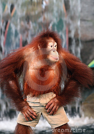 Free A Female Orangutan Stock Photography - 4853742