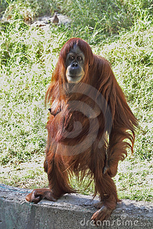 Free A Female Orangutan Standing Stares Royalty Free Stock Image - 23682276