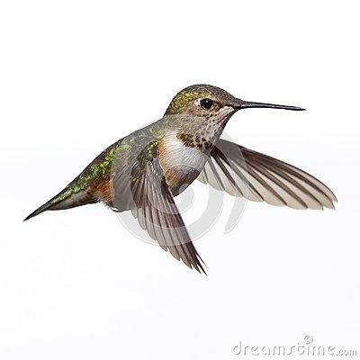Free A Female Rufous Hummingbird Isolated In Flight Against A White Background Stock Photography - 106753672
