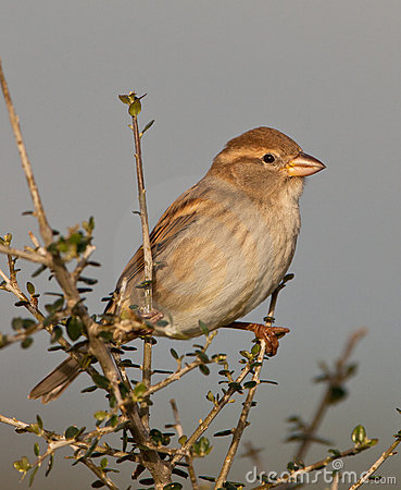 Free A Female Spanish Sparrow Stock Images - 22305664