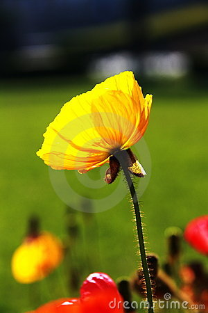 Free A Flower In Sunset Royalty Free Stock Images - 14203059