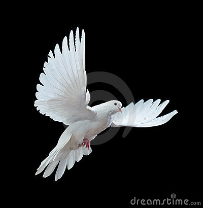 Free A Free Flying White Dove Isolated On A Black Stock Photography - 12019052