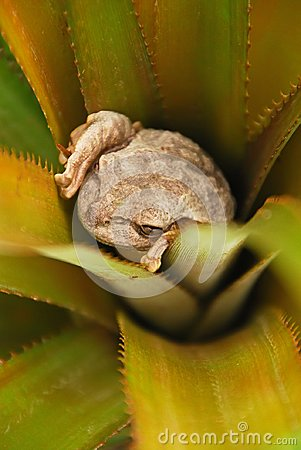 Free A Frog Hiding Inside A Plant In Vinales, Cuba Stock Images - 119056024