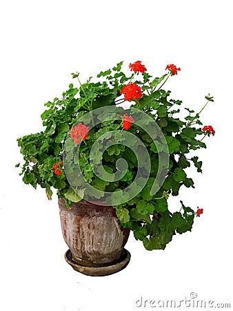 Free A Geranium Plant Royalty Free Stock Photos - 240888