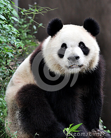 Free A Giant Panda Stock Images - 25855584