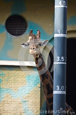 Free A Giraffe Standing Beside A Height Measurement Pole Stock Photography - 132311752