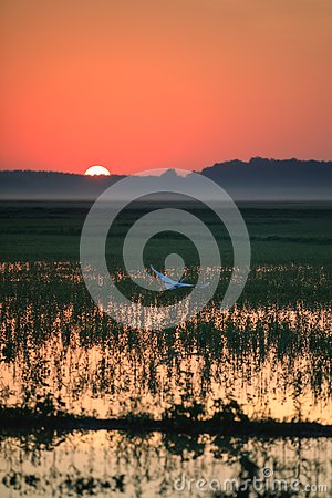 Free A Great Egret Takes Flight In A Rice Field During Sunrise Over Bald Knob National Wildlife Refuge Royalty Free Stock Photo - 97117175
