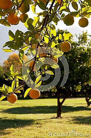 Free A Green Tree Full Of Lemons Stock Image - 2348661