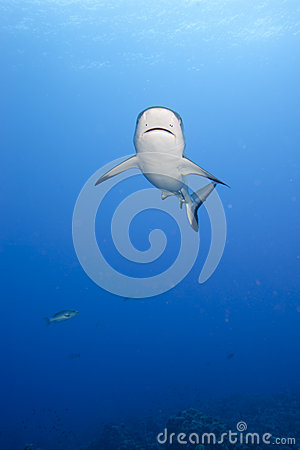 Free A Grey Shark Jaws Ready To Attack Underwater Close Up Portrait Stock Images - 31658824