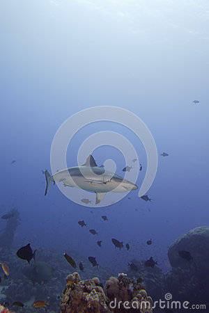Free A Grey Shark Jaws Ready To Attack Underwater Portrait Stock Photos - 31658913