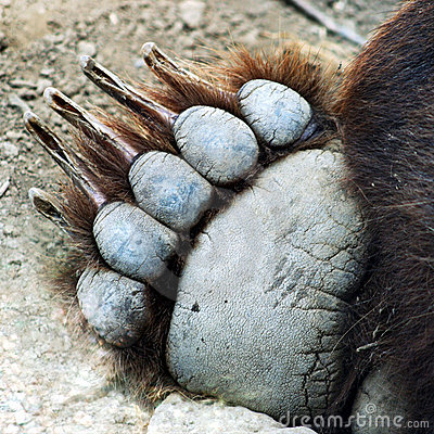 Free A Grizzly Bear Paw Stock Image - 3269371
