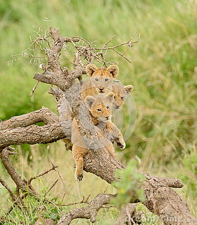 Free A Group Of Lion Cubs Royalty Free Stock Photography - 107185477