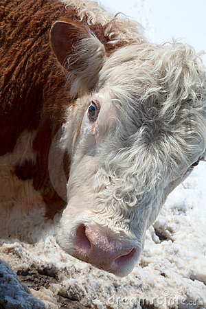 Free A Head Of Thoughtful Cow Stock Photography - 16221152