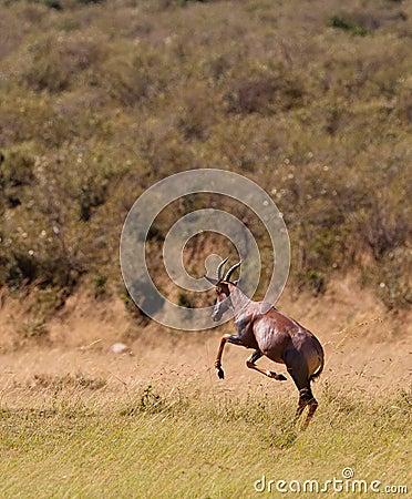 Free A Jumping Playful Topi Antelope Royalty Free Stock Photos - 24141108