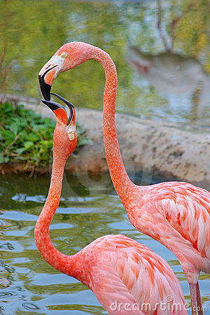 Free A Kiss Of Two Flamingos Stock Photos - 7308473