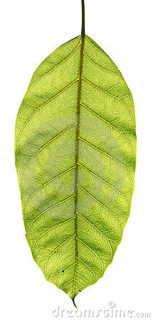 Free A Leaf Royalty Free Stock Photo - 10329945