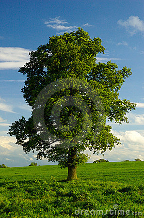 Free A Lone English Oak Tree Stock Photography - 5080262