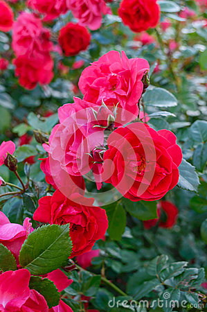Free A Lush Bush Of Red Roses On A Background Of Nature. Many Flowers And Buds On The Stem. Stock Image - 94438241