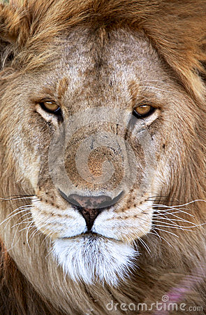 Free A Male Lion In Tanzania National Park Stock Image - 35969651