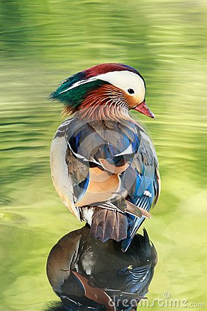 Free A Mandarin Duck Male In Water Reflecting The Vegetation Stock Photos - 111702653