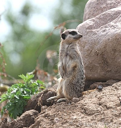 Free A Meerkat On Stake Out. Royalty Free Stock Photo - 19664965