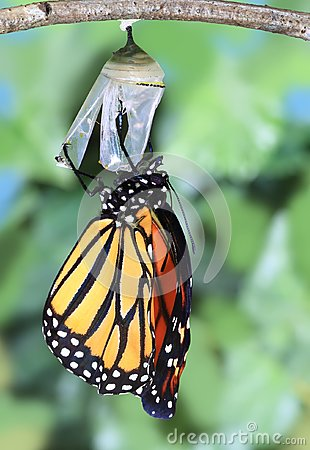 Free A Monarch Butterfly Newly Emerged. Royalty Free Stock Photos - 100840648