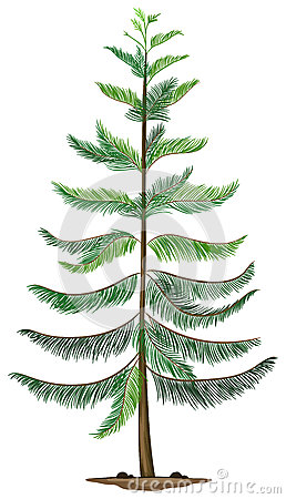 Free A Norfolk Island Pine Stock Image - 45810881