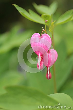 Free A Pair Of Bleeding Hearts Royalty Free Stock Photography - 118455237