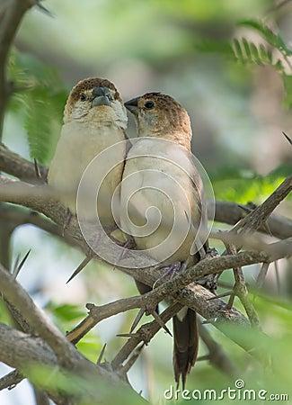 Free A Pair Of Indian Silverbill Bird Stock Photos - 82166533