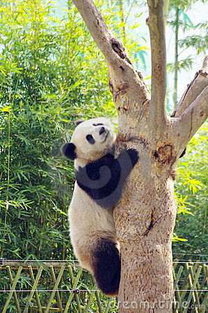 Free A Panda Climbing The Tree Royalty Free Stock Images - 16940859