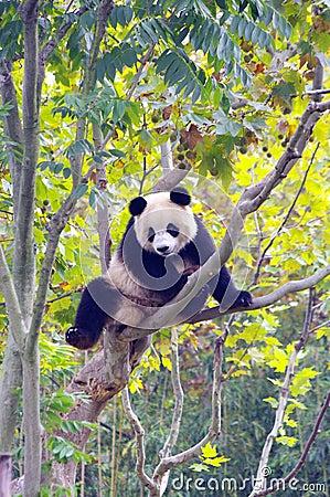 Free A Panda Climbing The Tree Stock Photo - 16940930