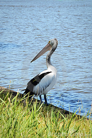 Free A Pelican Standing By The River In Australia Stock Photo - 17121960