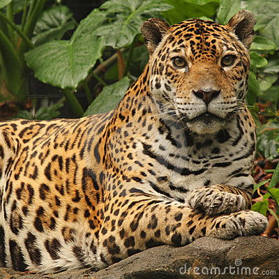 Free A Photo Of A Male Jaguar Royalty Free Stock Photo - 6913575